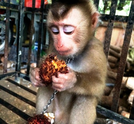 Rare macaque rescued in Kon Tum