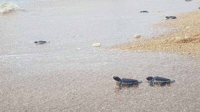 Fewer sea turtles coming inland to lay eggs