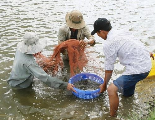Trà Vinh takes measures to protect shrimp from disease