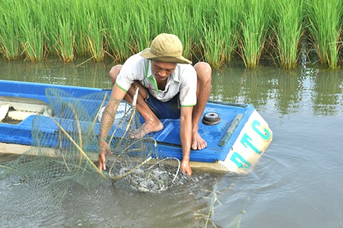 Farmers see higher profits from sustainable shrimp–rice farming model
