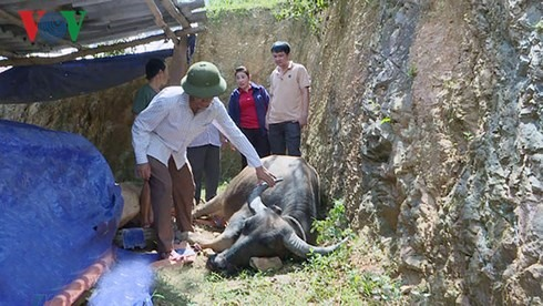 Livestock die due to hemorrhagic septicemia in Nghệ An