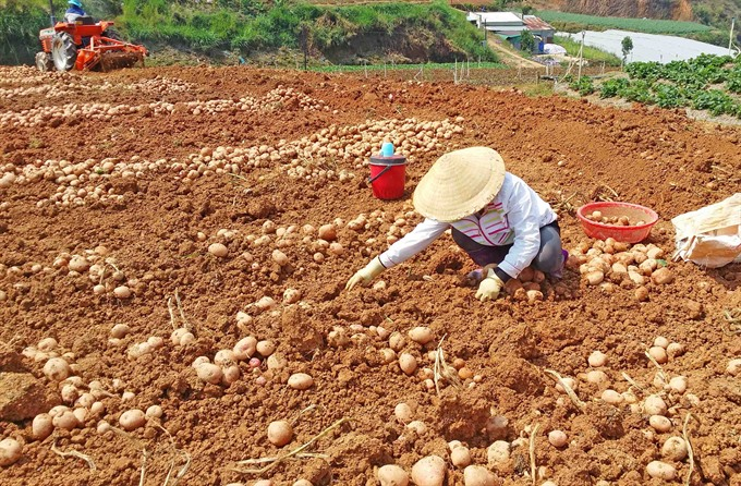 Sales of non-local farm produce banned at Đà Lạt market