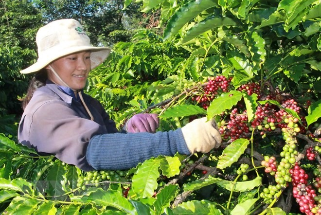 Việt Nam exports US3.5 billion worth of coffee in 2018