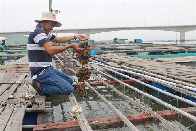 Bà Rịa – Vũng Tàu farmers breed Pacific oysters