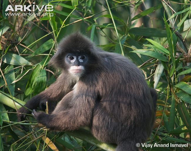 Two rare langurs killed in Pù Mát National Park