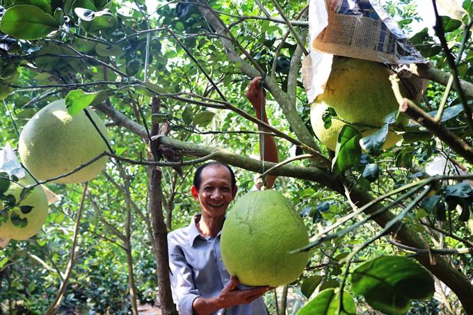 Thúng grapefruit farmers expect good profits during Tết season