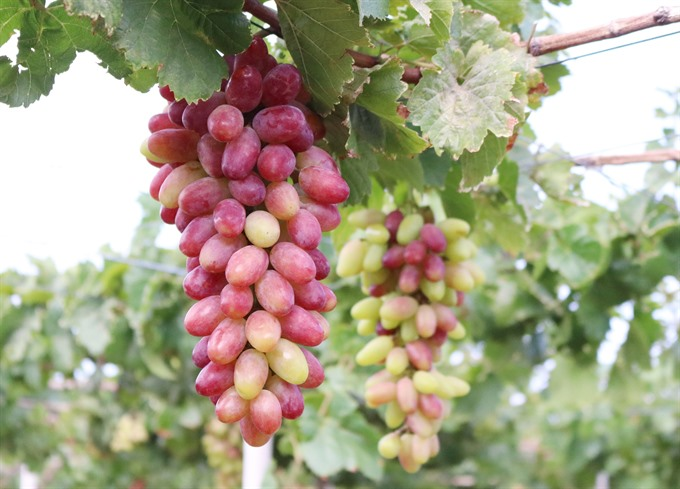 Grape variety approved for cultivation