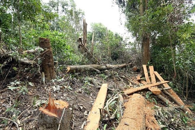 Illegal logging threatens old forest