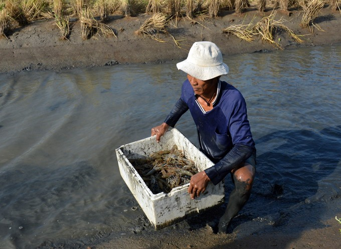 Cà Mau to expand sustainable shrimp farming models