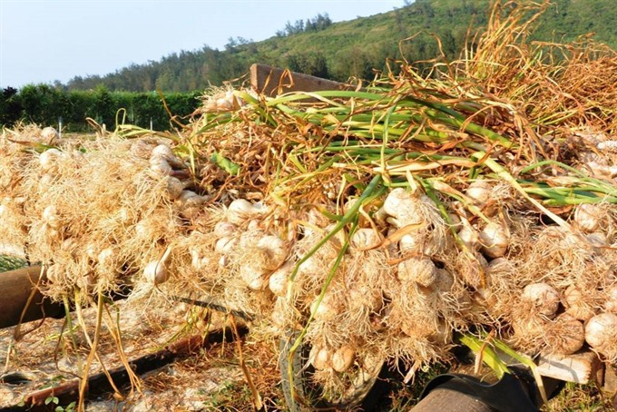 'Kingdom of Garlic faces challenges as prices fall