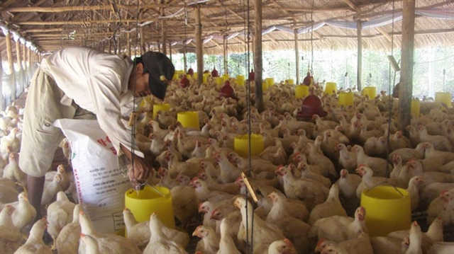 Poultry breeders suffer losses due to oversupply