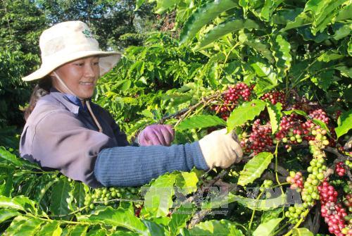 Việt Nam China boost tea and coffee production co-operation