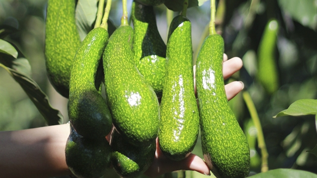 Việt Nam trying to get US export licence for avocados