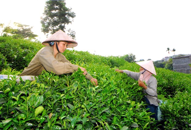 Việt Nams export of tea to Taiwan up