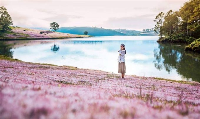 Pink grass festival to be celebrated in Lâm Đồng