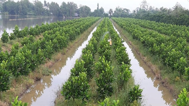 Ineffective rice fields successfully transformed into fruit gardens