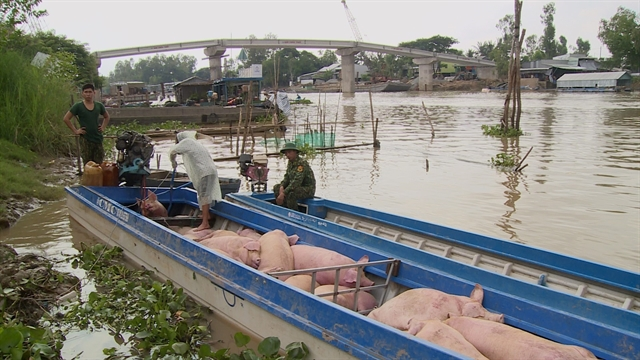 State strictly controls trading transport of smuggled pigs