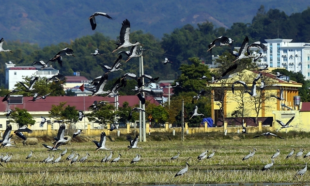 Rare storks appear in Điện Biên