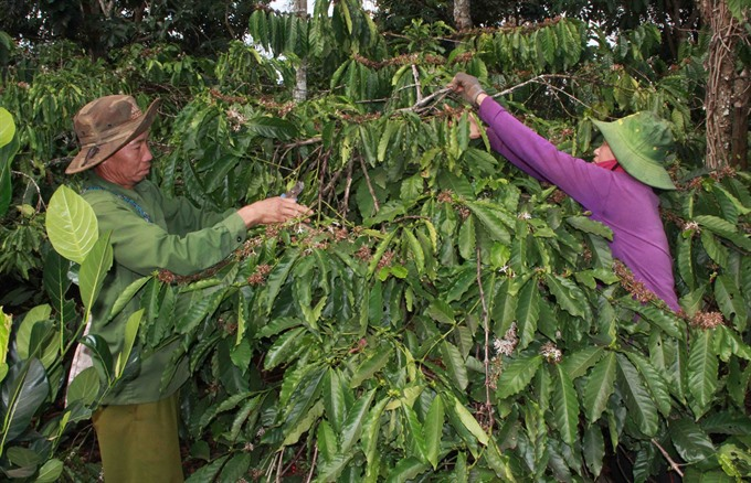 VN continues to replace old coffee trees