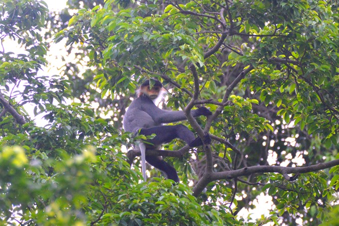 Central province to restore forest for endangered langurs