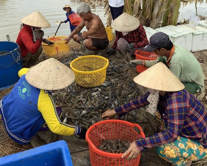 Kiên Giang to expand shrimp farming models