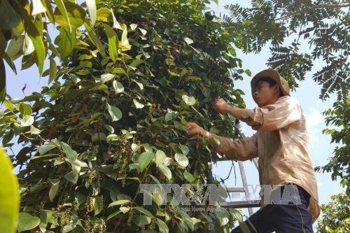 Pepper output to reach 200000 tonnes this year