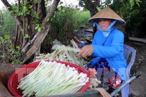 Cà Mau to expand bulrush growing area