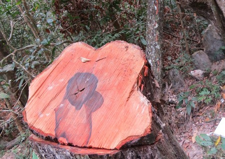 Rare trees illegally cut down in Quảng Bình national park