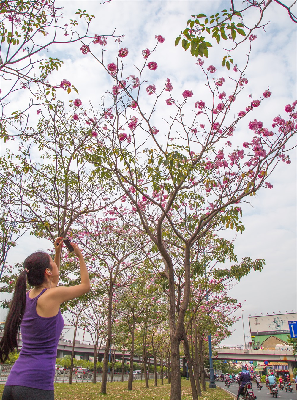 Blooming rosy trumpet trees beautify HCM City downtown