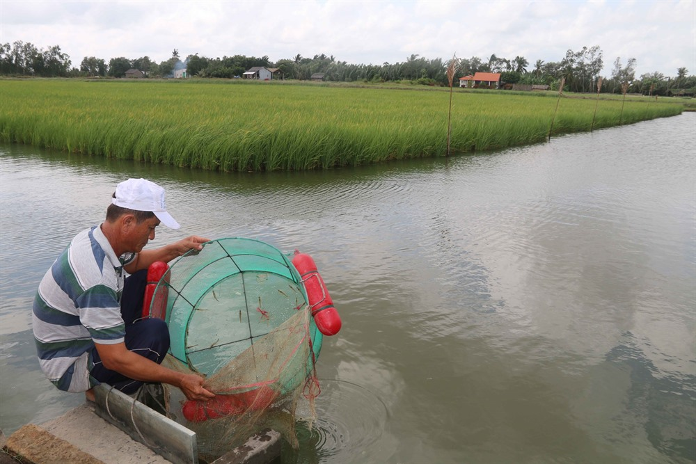 Trà Vinh shrimp farmers earn more from staggered breeding