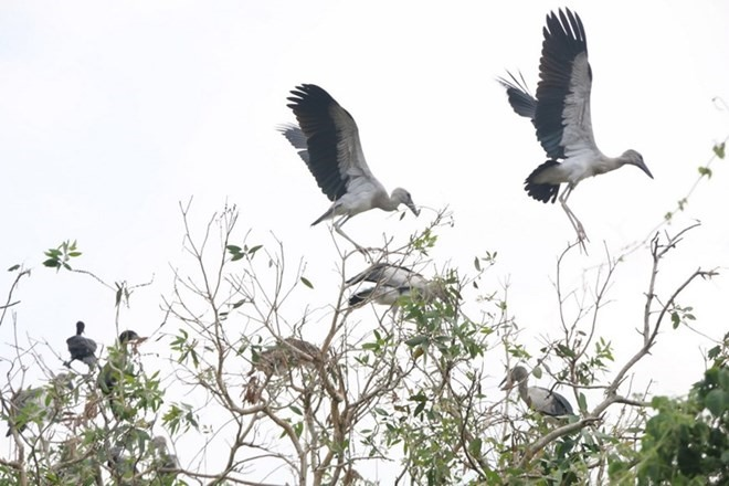 Rare Asian openbills seen again in Bạc Liêu
