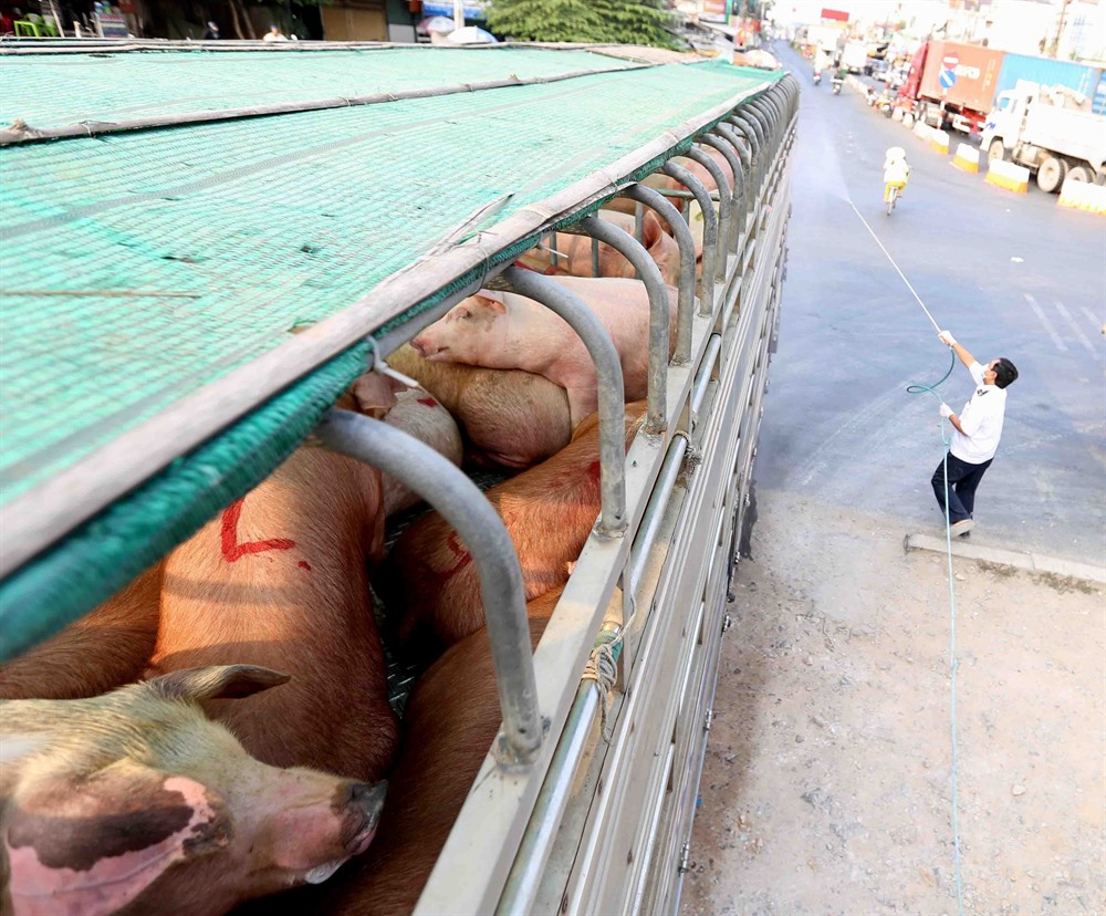 Measures needed to prevent African swine fever reaching southern Việt Nam