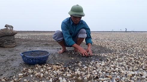 Clams die en masse in Thanh Hóa Province