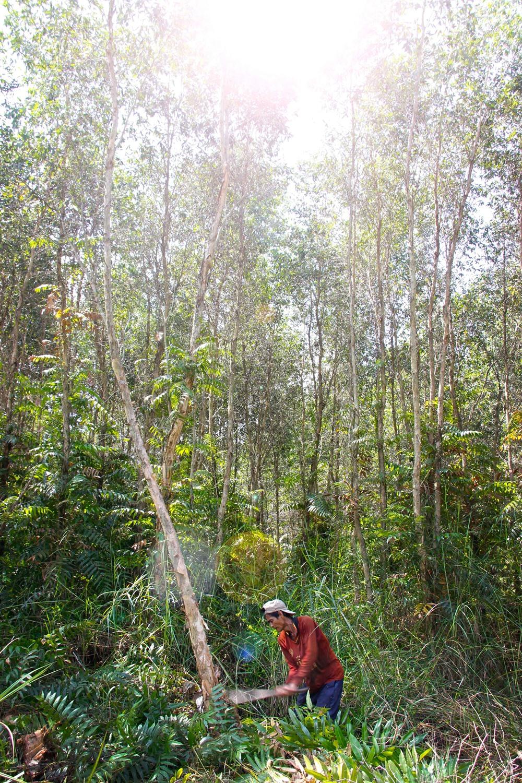 Cà Mau to plant more acacia trees as profits rise