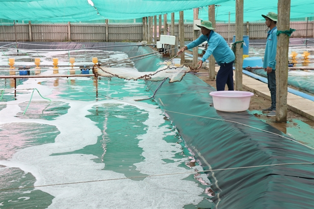 Bến Tre expands two-stage industrial shrimp farming