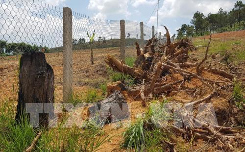 Pine trees felled in Lâm Đồng