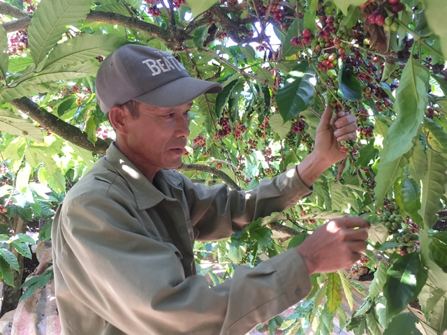 Việt Nam coffee exports plummet on global headwinds