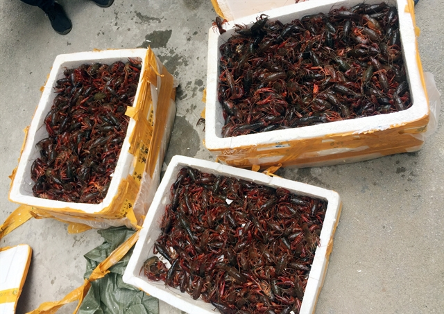 50kg of crayfish seized in Lạng Sơn