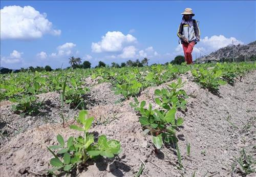 Ninh Thuận helps farmers shift to new crops during dry season