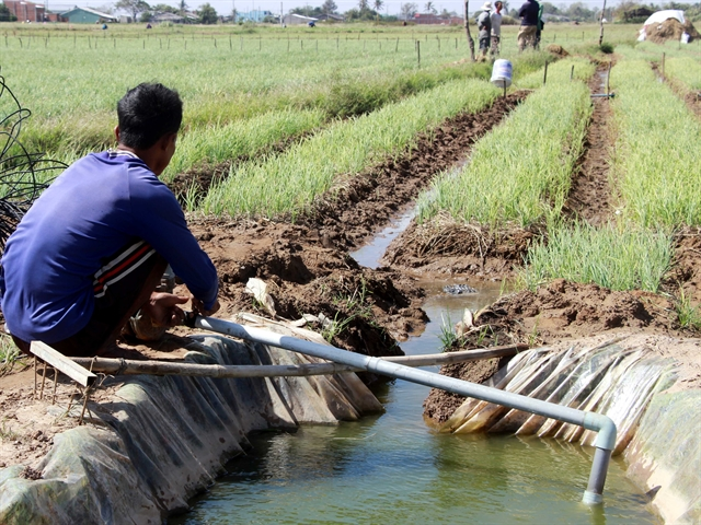 Mekong Deltas main red onion growing area adopts new farming models