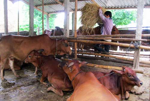 Việt Nam to develop cattle breeding say officials