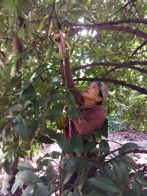 Farmers seebumper mangosteen harvest