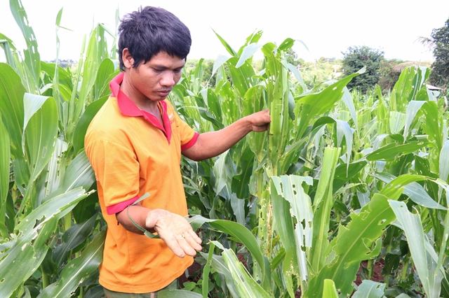 Ministry tightens control measures against pest attacking corn fields