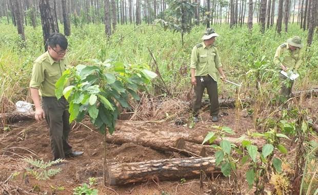 Lâm Đồng police discover pine forest destruction