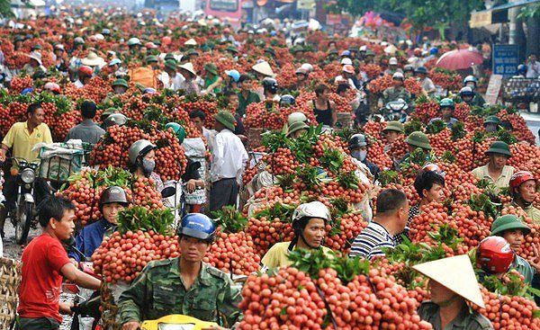 Lychee revenue in Bắc Giang reaches 60-year high of US262.6 million