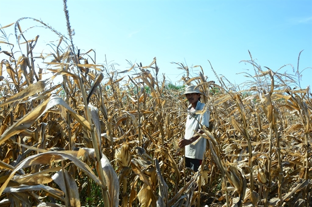 Rice maize hit by serious drought