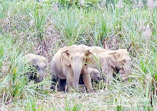 Nghệ An to spend more than 800000 on elephant conservation