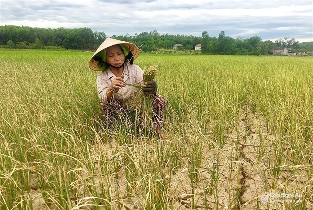 Drought destroys crops in Nghệ An Province