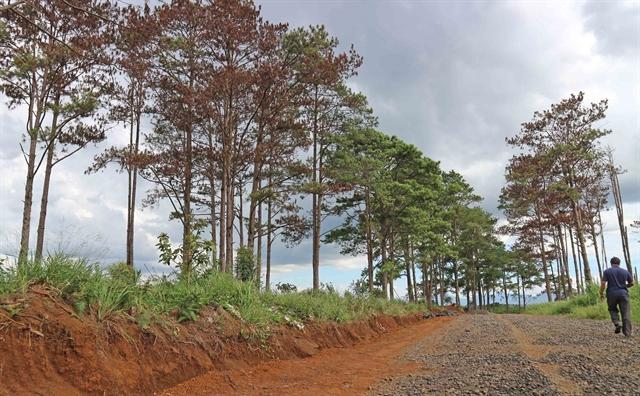 Lâm Đồng pine forest poisoned