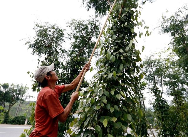 Junes pepper exports up 58.8 per cent